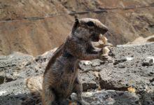 Squirrel on Fuerteventura.