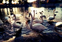Swans in Wroclaw