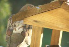 Pigeon behind the feeder